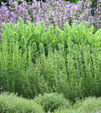 Herbs garden bed. Garden bed colours with herbs thyme sage sedum and summer savory, blooming in the back is sage Royalty Free Stock Photo