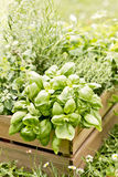 Herbs from the garden Royalty Free Stock Photos