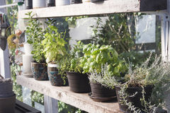 Herbs in the greenhouse Stock Images