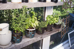 Herbs in a greenhouse Stock Image