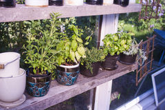 Herbs in a greenhouse Royalty Free Stock Photo