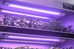 Herbs grow with Led plant growth Light in greenhouse stock images