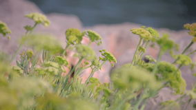 Herbs growing on the coast of the Mediterranean Sea Catalonia. stock footage