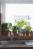 Herbs growing in flowerpots at kitchen sink Royalty Free Stock Photo