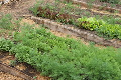 Herbs growing in the greenhouse, a bed in a kitchen garden. Herbs growing in  greenhouse, a bed in a kitchen garden Stock Photo