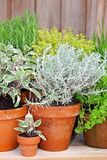 Herbs growing in plant pots stock image