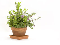 Herbs growing in Pot. Multiple herbs including mint, oregano, thyme and sage growing together in a terracotta pot on white background Stock Image
