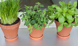 Herbs growing on window-sill Stock Images