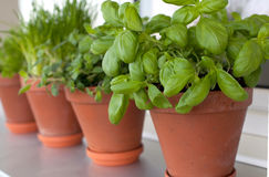 Herbs growing on window-sill Royalty Free Stock Images