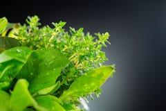 herbs Grupo das folhas arom?ticas org?nicas verdes frescas da erva Hortel?, pastilha de hortel?, alecrim, tomilho, s?bio foto de stock royalty free