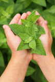 Herbs in hands Royalty Free Stock Images