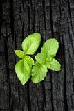 herbs Hortelã e manjericão fotos de stock