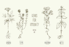 Herbs improving immune system. Vector illustrations of herbs that increase immunity Stock Photography