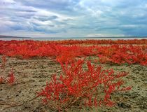 Herbs on lake shore. Red herbs on shore of big salt lake Stock Photos