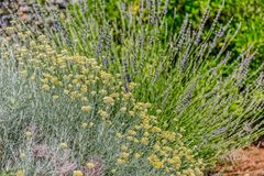 Herbs Lavander and Immortelle Stock Photography