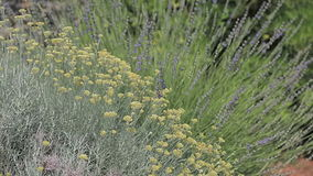 Herbs Lavander and Immortelle stock footage