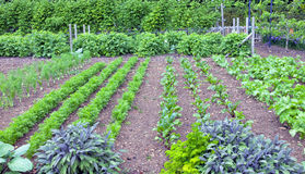 Herbs and leaf root vegetables growing in a garden Stock Photos