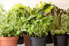 Herbs and lettuces in flowerpots on white wooden background. Live groving plants in flowerpots: butterhead salanova red, rosemary, thyme, oregano, basil, sage stock image