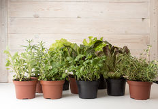 Herbs and lettuces in flowerpots on white wooden background. Live groving plants in flowerpots: butterhead salanova red, rosemary, thyme, oregano, basil, sage stock photos