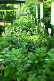 Herbs on the market Royalty Free Stock Photos