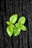 Herbs. Mint and Basil Stock Photos