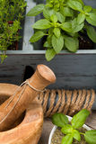 Herbs. Mortar and pestle with fresh and dried sweet basil leaves, spicy basil plants and thyme. Healthy ingredients for flavour stock photography