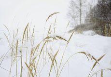 Herbs nature winter snow landscape white background. Winter snow herbs white background landscape cold sky outdoor Stock Images