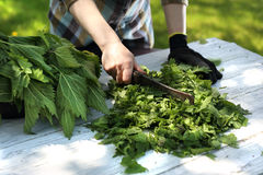 Herbs nettle, nature straight from the garden. Woman chopping green nettle leaves stock photography