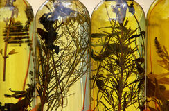 Herbs oil 01 Stock Photography