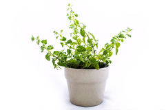 Herbs Oregano stock images