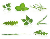 Herbs. Parsley, basil, thyme, dandelion, stinging nettle, yarrow, chives and rocket. Isolated vector illustration on white background Royalty Free Stock Photos