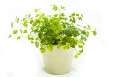 Herbs Pesrley stock photo