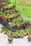 Herbs plants Royalty Free Stock Photo