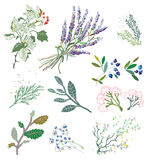 Herbs and plants for herbal medicine. Royalty Free Stock Photo