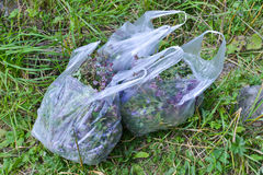 Herbs in plastic bags. Gathering of herbs in Altai Region - wild oregano and thyme in plastic bags Royalty Free Stock Photos