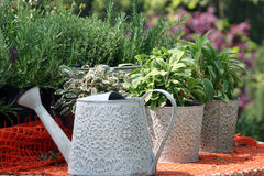 Herbs in the pot. Gardening detail with herbs in the pot on the open terrace in the springtime royalty free stock image
