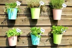 Herbs in pot in the garden. Fresh herbs in colorfull pots in the garden Stock Image