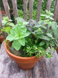 Herbs in a pot. Herbs, pot, terra cotta, gardening Royalty Free Stock Images