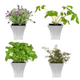 Herbs in Pots. Lavender, angelica, basil and bronze fennel herbs growing in distressed pewter pots, over white background Stock Photos