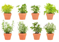Herbs in Pots. Herb selection of marjoram, lemon balm, tarragon, hyssop, chocolate mint, bergamot, feverfew and catmint growing in terracotta pots, over white royalty free stock photography