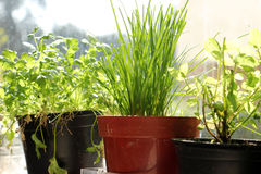 Herbs in pots. Various herbs growing in pots on the windowsill Royalty Free Stock Photos