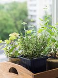 Herbs in pots in wood tray growing on a windowsill. Thyme, mint, sage and oregano in pots on windowsill. stock photos