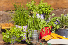 Herbs in pots on a wooden table Stock Photography
