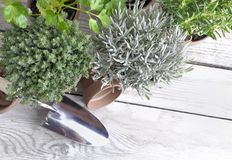 Herbs potted and shovel on a garden table Royalty Free Stock Photography