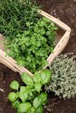 Herbs. Prepared for planting royalty free stock photography