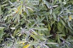 Herbs: sage Royalty Free Stock Image