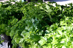 Herbs for Sale. At Venice FL farmer's market stock photography