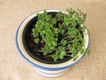 Herbs seedlings in pot. Herbs seedlings in flower pot Stock Photos