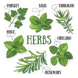 Herbs. Set of fresh kitchen herbs. Vector illustration vector illustration