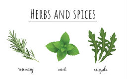 Herbs and spices color set. Collection of herbs and spices vector illustration. Rucola, mint and rosemary Royalty Free Stock Image